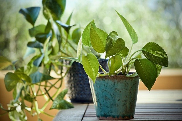 Picture of Pothos Plants in vase