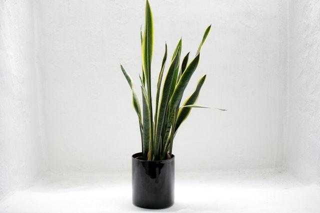 Image of Snake Plant in Vase